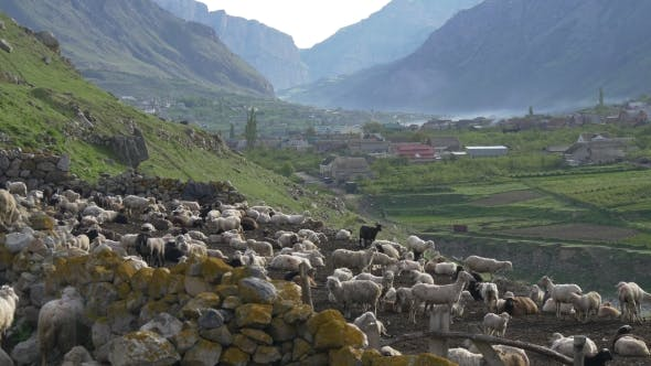Thumbnail for Big Flock of Sheep in Mountains