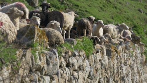 Domestic Animals Gaze on Mountain Slope