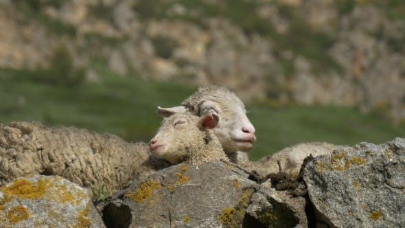 Thumbnail for Mother Sheep and Lamb Sleep Together
