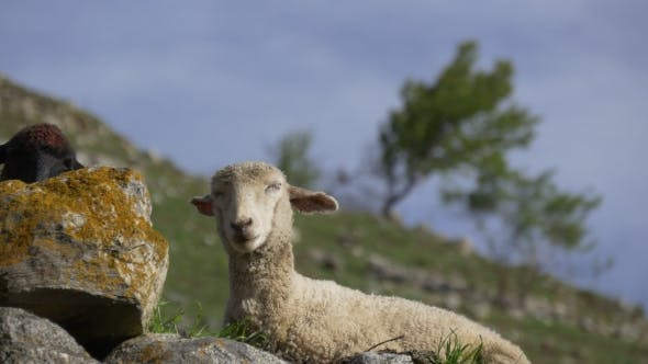 Thumbnail for Sheep Sleeping on Pasture