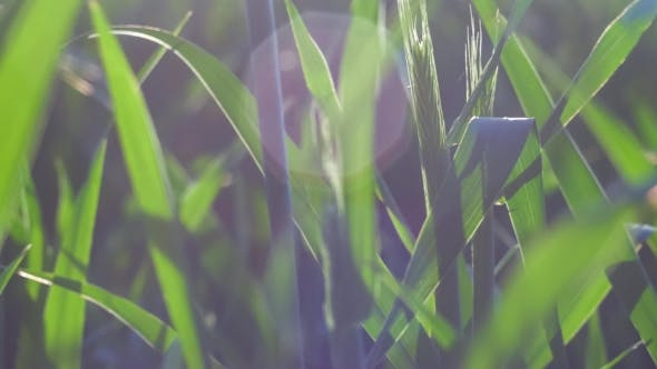 Thumbnail for Wheat Stem Moving By the Wind in Warm Spring Evening Sun Light Flares. Shallow Depth of Field
