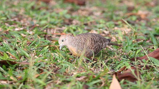 Thumbnail for Zebra Dove Searching For Food (2-Pack)