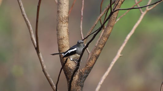 Thumbnail for Oriental Magpie Robin (Copsychus Saularis) Full HD