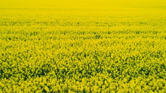 Thumbnail for AGRICULTURE - Canola Flower, Yellow Oilseed Rape Field