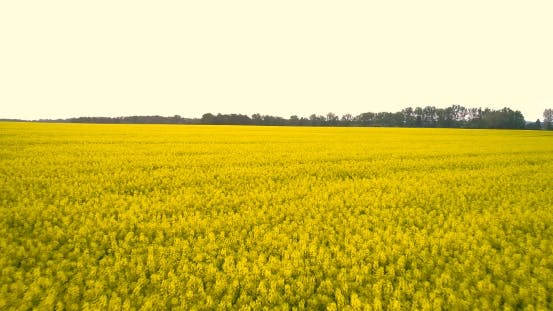 Thumbnail for AGRICULTURE - Canola Flower, Rape Crop