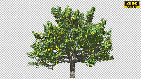 Thumbnail for Pear Tree