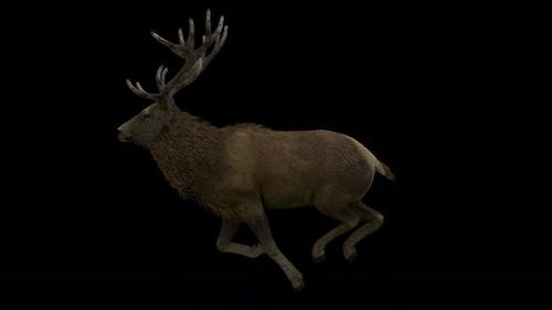 Stag Running Cycle