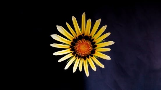 Thumbnail for Yellow Flower Blossom on Dark Background