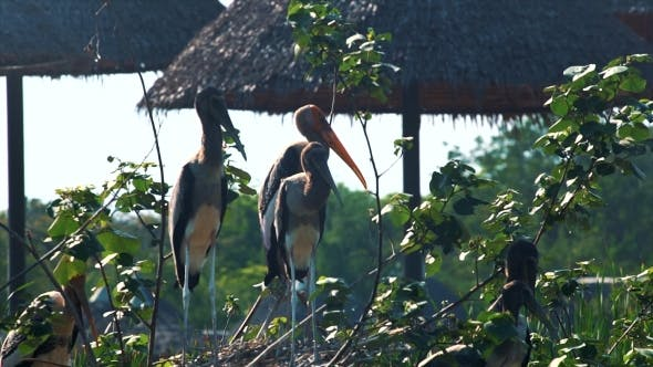 Thumbnail for African Stork in the Nature Habitat