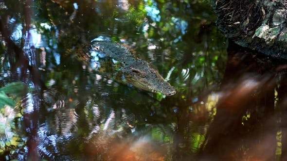Thumbnail for Crocodile in Water in Jungle