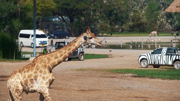 Thumbnail for Beautiful Giraffes in the Zoo