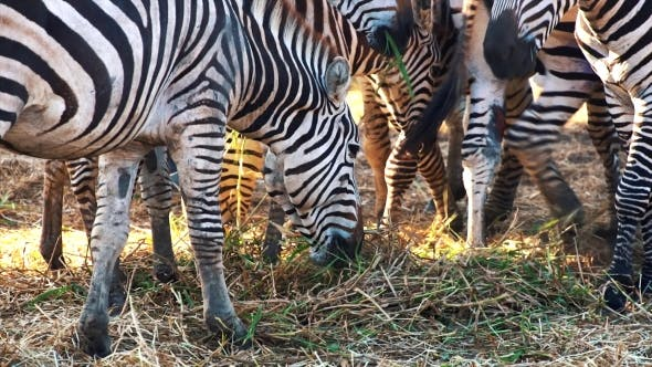 Thumbnail for Zebras in the Zoo Eating Grass