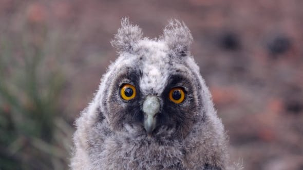 Thumbnail for Gray Owl with Beautiful Eyes Look Forward Without Taking a Look
