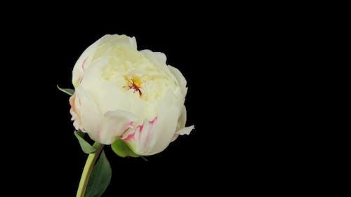 Flowering of Peony