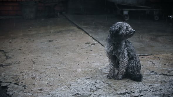 Thumbnail for Dog Under Rain Waiting For