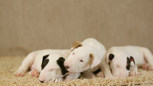 Puppies of Bull Terrier