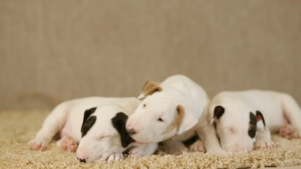 Thumbnail for Puppies of Bull Terrier
