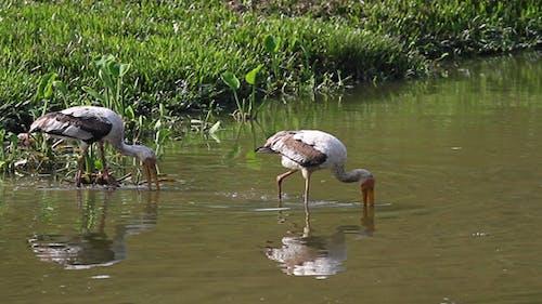 Deux cigognes Pêche