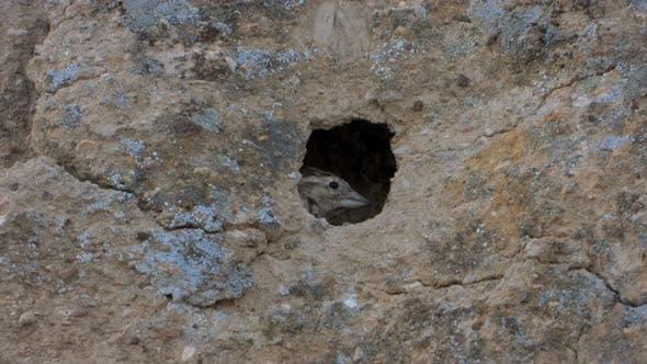 Petit oiseau brun gris et petit nid nid dans le trou de la paroi rocheuse