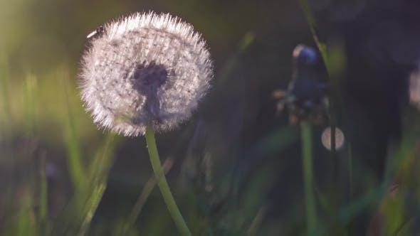 Thumbnail for Backlit Seed Head of Dandelion, Sunlight Flares, Nice Round Bokeh, , Vintage Look