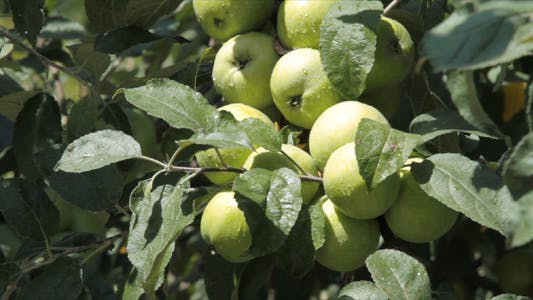 Thumbnail for Fruit Apples On A Tree