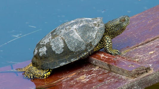 Thumbnail for Turtle