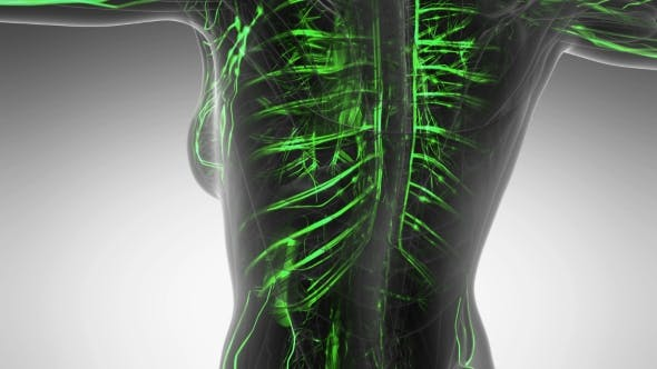 Cover Image for Human Body with Glow Blood Vessels
