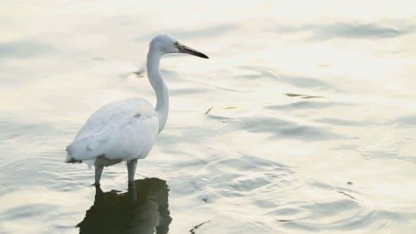 Thumbnail for White Egret Hunting for Fish in Pond. Lumpini Park, Bangkok, Thailand.