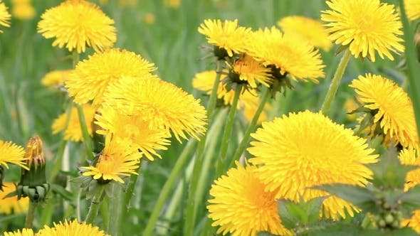 Thumbnail for Dandelion Flowers in a Field Spring
