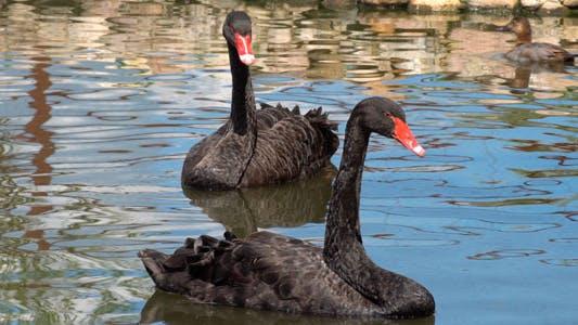 Thumbnail for Black Swan