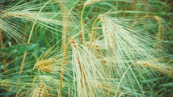 Thumbnail for Dry Golden Wheat Ears in Wind, , with Green Grass on Background