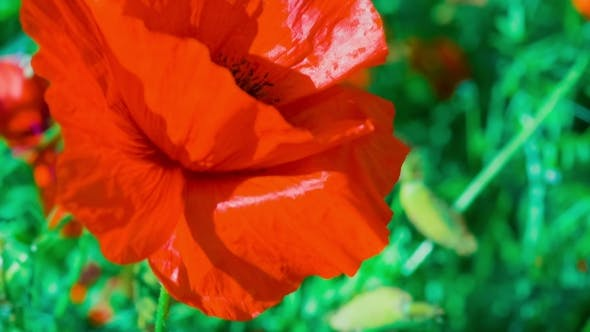 Thumbnail for View of Black Colored Core of Wild Red Poppy