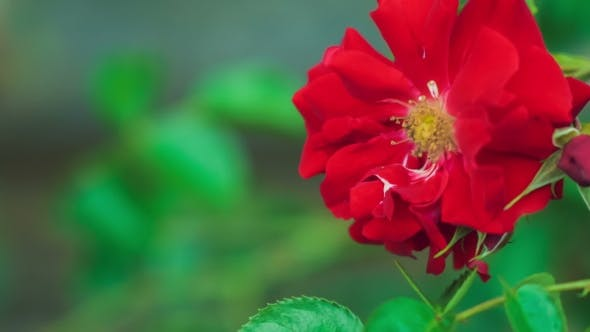 Thumbnail for Beautiful Red Rose  Slow Moving in Wind