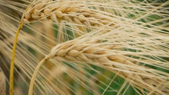 Thumbnail for of Two Ripe Wheat Straws Waving in Wind. Deep Green on Background