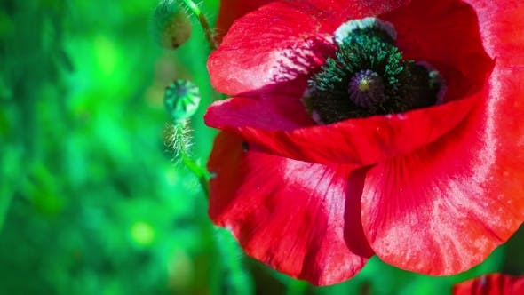 Thumbnail for View Black Color Core of Wild Red Poppy