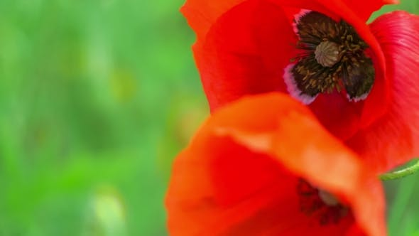 Thumbnail for View of Black Colored Core of Red Poppy Flowers