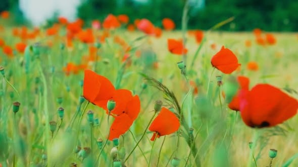 Thumbnail for Wild Red Poppy Flowers in Wheat Field