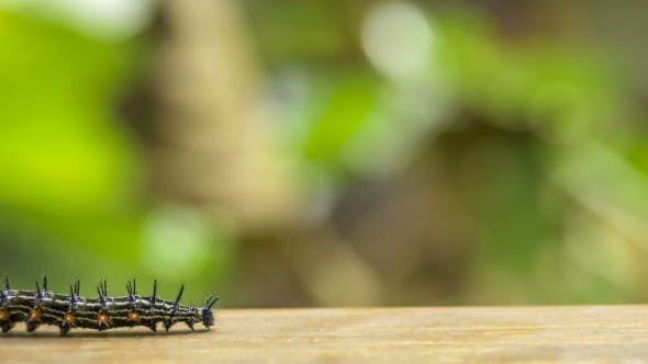 Thumbnail for Colorful Barbed Butterfly Caterpillar Creeping on the Wood Surface, Railay, Krabi