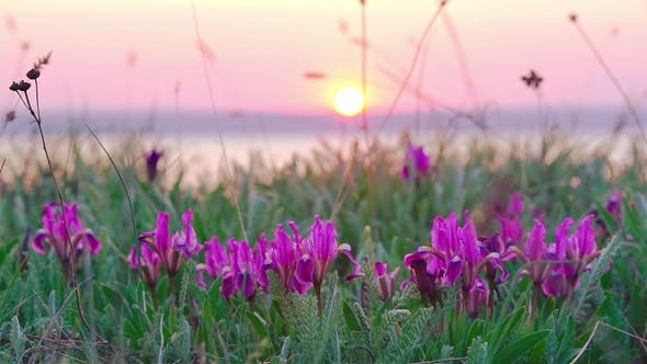 Thumbnail for Violet Irises on the Meadow.