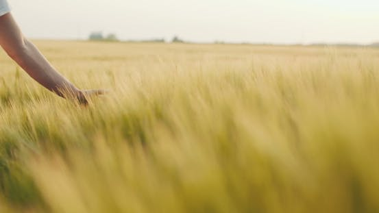 Thumbnail for Touching Wheat Crops