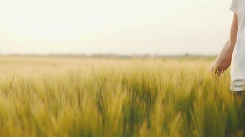 Farmer Berühren Weizen - Berühren von Getreide
