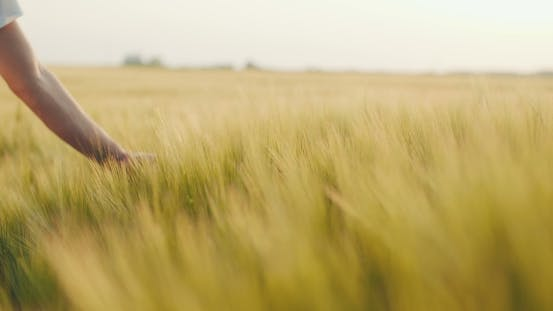 Thumbnail for Touching Crops - Wheat Field - Ears of Wheat