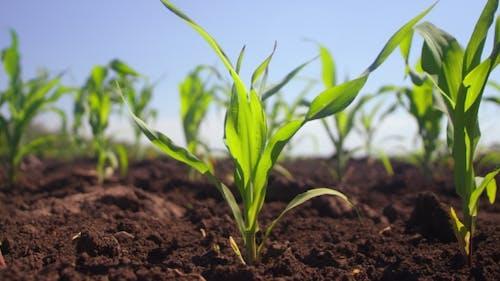 Pflanzen beginnen auf einem Feld zu wachsen