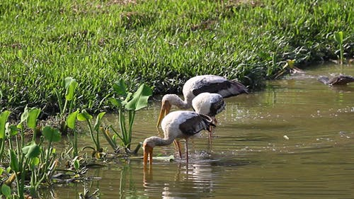 Painted Stork And Lizard
