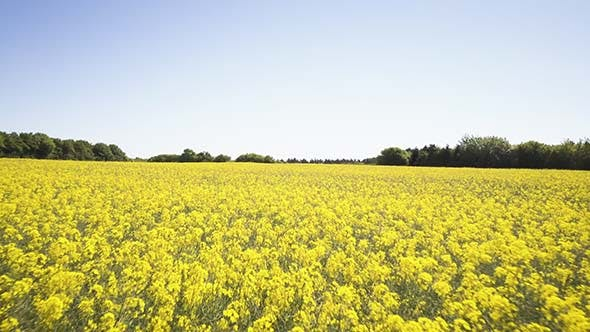 Yellow Raps Field With Blue Sky