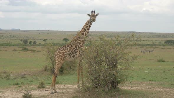 Thumbnail for Giraffe in Afrika