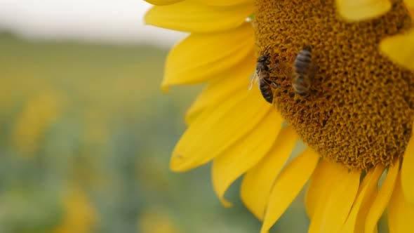 Thumbnail for Part of  beautiful sunflower with insect 3840X2160 UltraHD footage - Shallow DOF Helianthus plant an