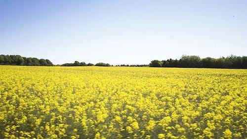 Field Of A Flowering Raps