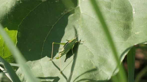 Close-up of great green bush-cricket Tettigonia viridissima 4K video
