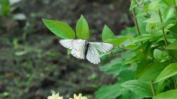 Cover Image for Aporia crataegi (Black-veined white butterfly)